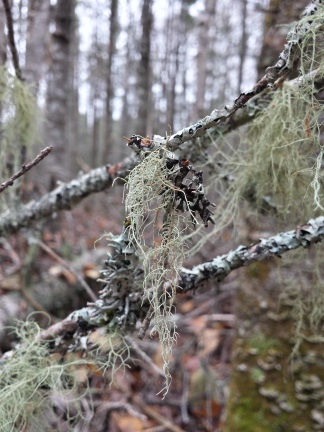 beautiful beard lichen <3