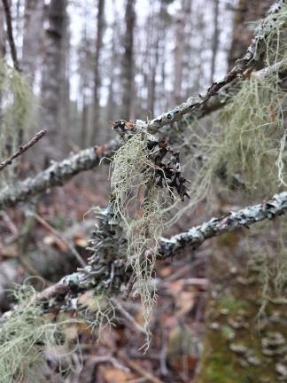 beautiful beard lichen <3