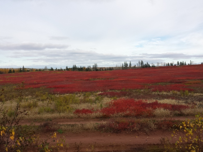 Blueberry fields in November