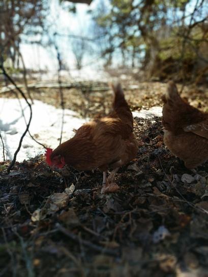 Chickens Free