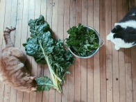 Kale and Chard for dinner with 2 curious cats <3