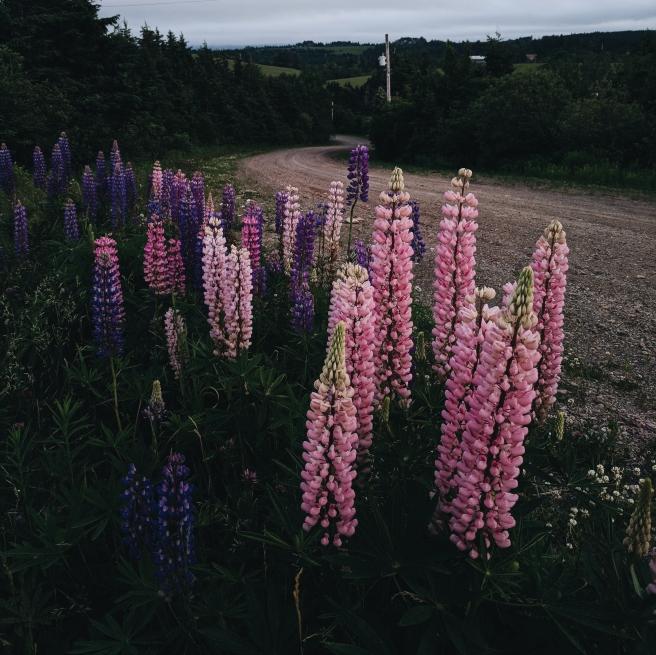Lupins Nova Scotia